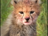 cheetah-cub-12-copyright