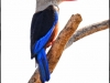 grey-headed-kingfisher