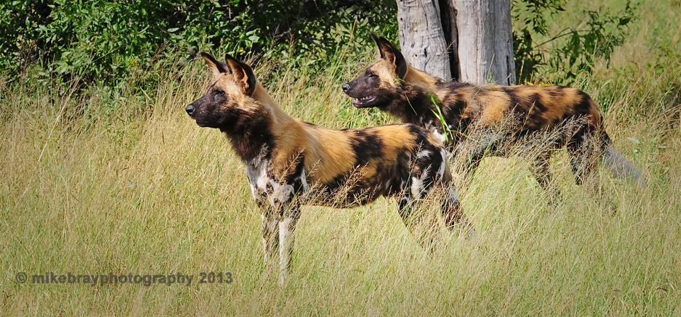 Mike Bray Photography - Chitabe Wild Dogs