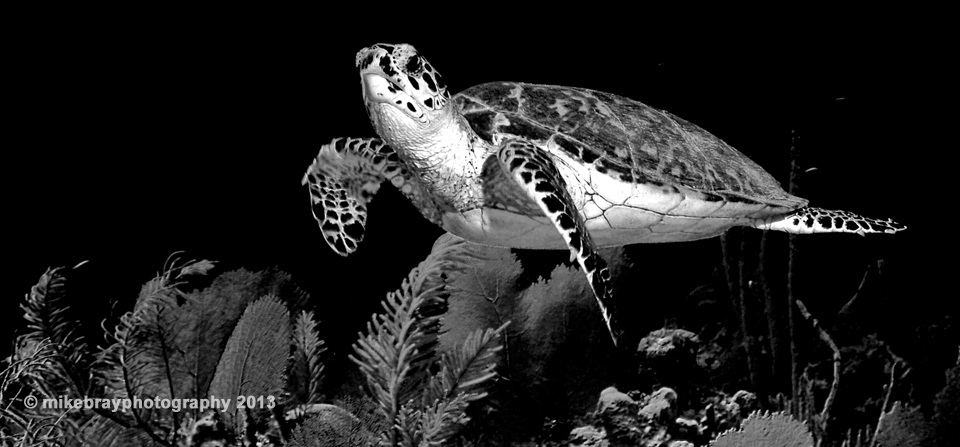 Mike Bray Photography - Hawksbill Turtle