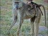 baboon-and-baby