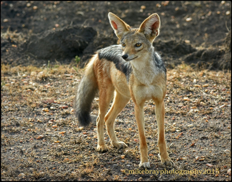 jackal-black-backed-2