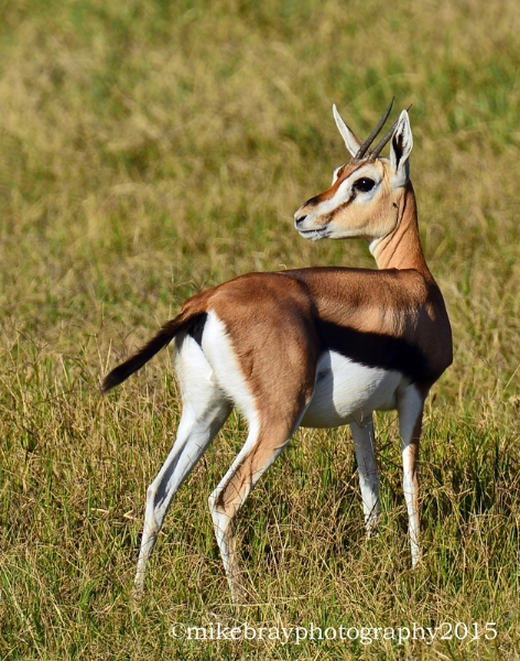 thomposns-gazelle-3