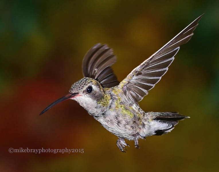 broad-billed-hummingbird-8c