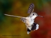 black-chinned-hummingbird-3a