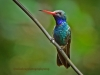 broadbill-hummingbird-c