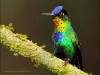 fiery-throated-hummingbird-12b