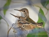 hummingbird-chicks