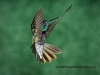 magnificent-hummingbird-2c