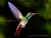 rufous-tailed-hummingbird-5b