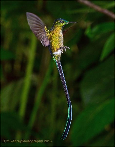 long-tailed-sylph-6