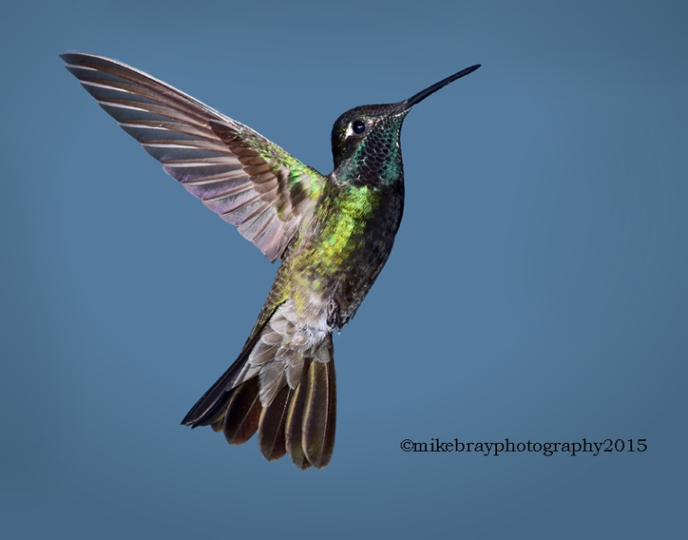 magnificent-hummingbird-3a