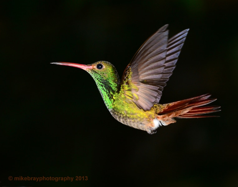 rufous-tailed-hummingbird-4
