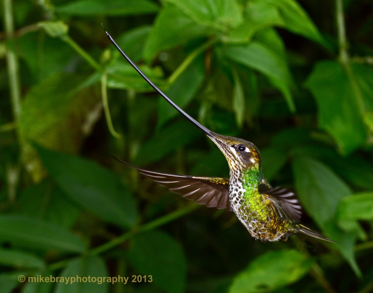 sword-billed-hummingbird-1