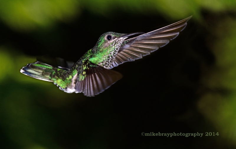 white-necked-jacobin-female-2b
