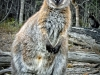 wallaby1c