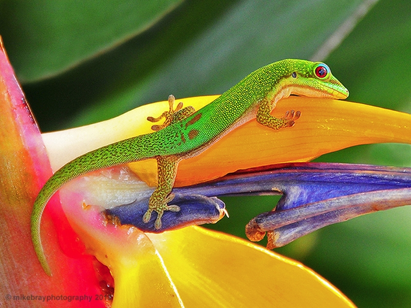 gold-dust-gecko