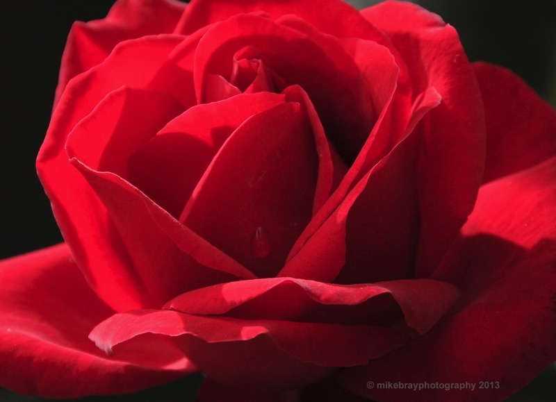 red-rose-christchurch_0