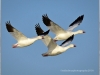 snow-geese-5a