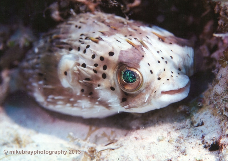 balloonfish-little-cayman