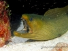 green-moray-eel-4c