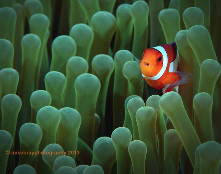 clown-anemonefish
