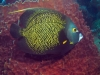 french-angelfish-and-sponge-c