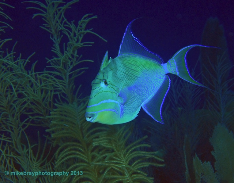 queen-triggerfish-1a