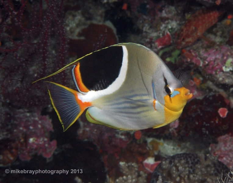 saddled-butterflyfish-edit