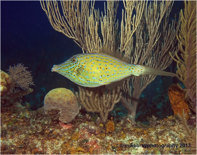 scrawled-filefish-2