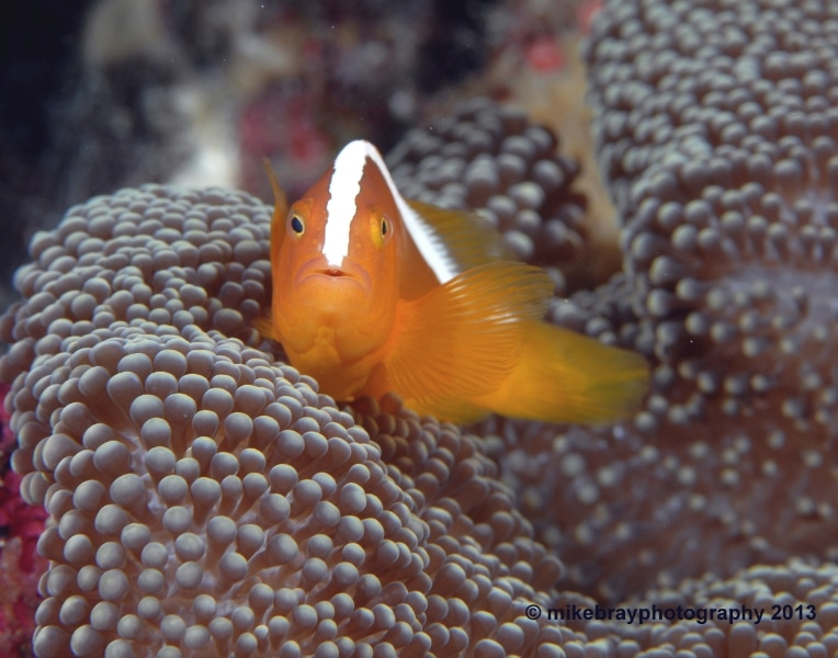 skunk-anemonefish-2