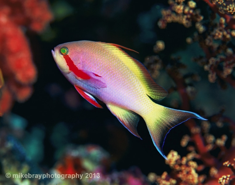 threadfin-anthias