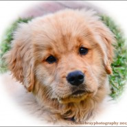 Our newest addition: A golden retriever puppy!